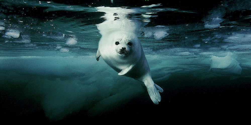 Fur seal under the Arctic ice