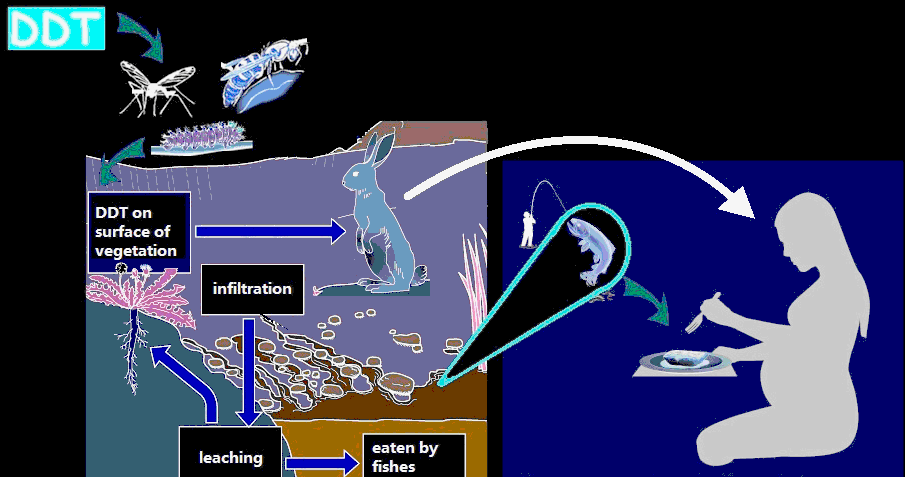 biomagnification one of the classic examples of bioaccumulation that resulted in biomagnification occurred with an insecticide called