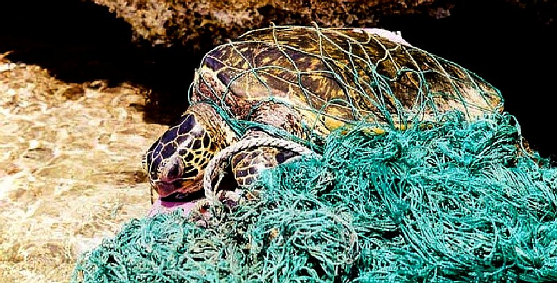 Sea turtle entangled in a fishing net